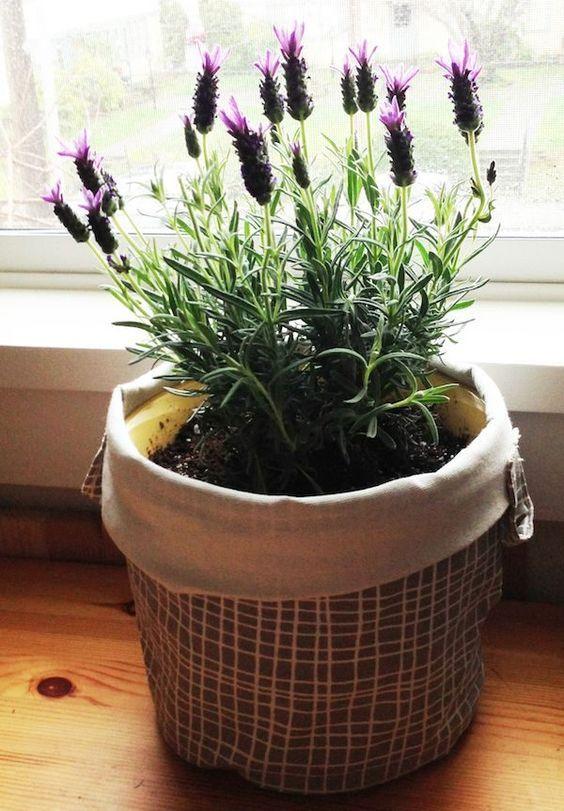 Planting lavender in pots | Lavender, Plants and Gardens