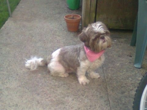 Lou Lou 9 Year Old Female Shih Tzu Dog For Adoption At Friends