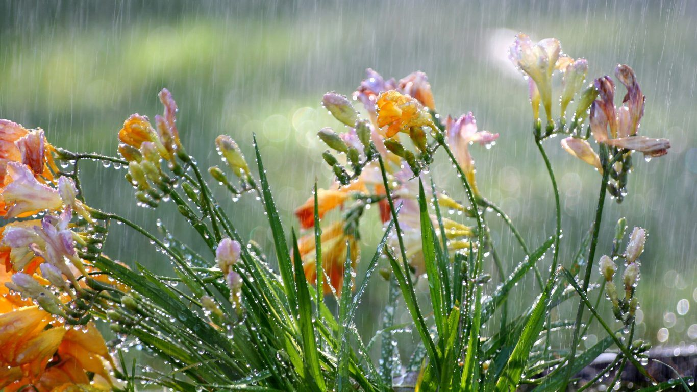 Flower Flowers Freesias Gardens Rain Weather Seasons Plants Summer Desktop Wallpaper Hd Nature Flower Hd 16 9 Season Plants Wildflower Garden Freesia Flowers