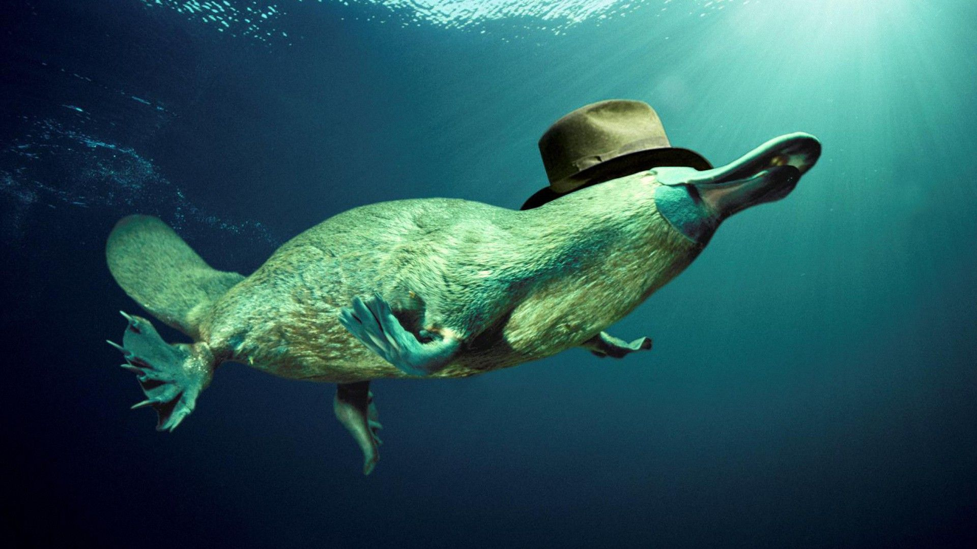 3d Platypus Underwater Hd Wallpapers Platypus Animals Animal Wallpaper