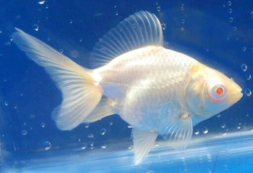 Albino fantail | Fishies! | Goldfish, Comet goldfish, Fish