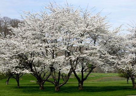Autumn Cherry Tree Fast Growing Trees Growing Tree Cherry Tree
