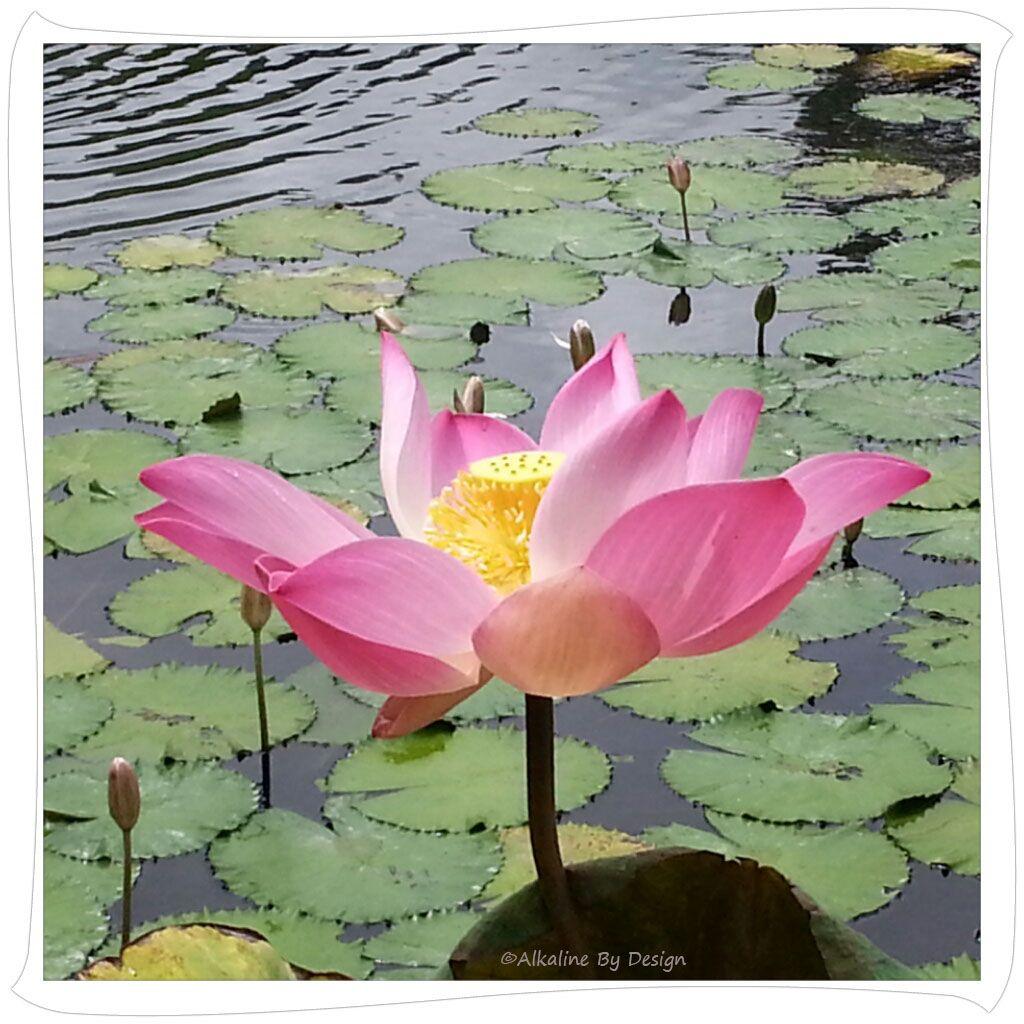 Type Of Lotus Spiritual Soul Soothing Pinterest Spirituality