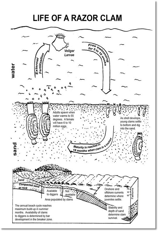 Razor Clam Diagram Wiring Diagram