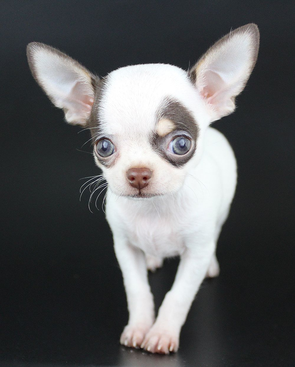 Pin By Peggy Ritz On Chichuahua Chihuahua Puppies Puppies