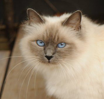 Blue Point Birman Cat Showing Golden Aura Kitties And Cats Siamese Cats Birman Cat Cats