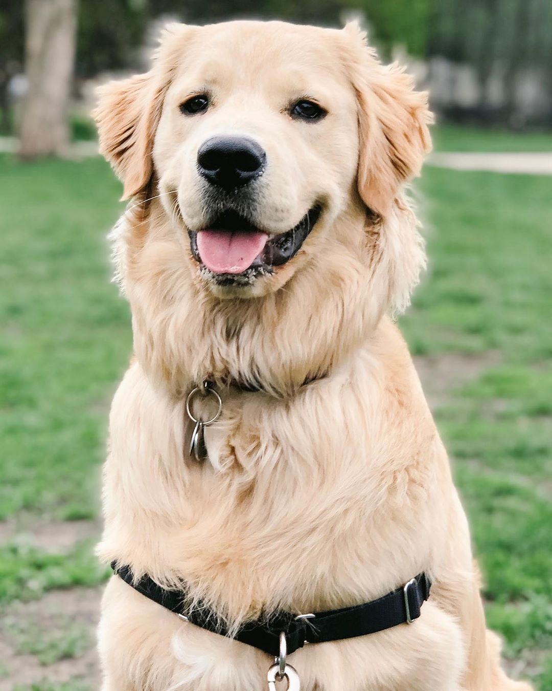 Hamilton The Golden On Instagram Good Boy Vibes Dogs