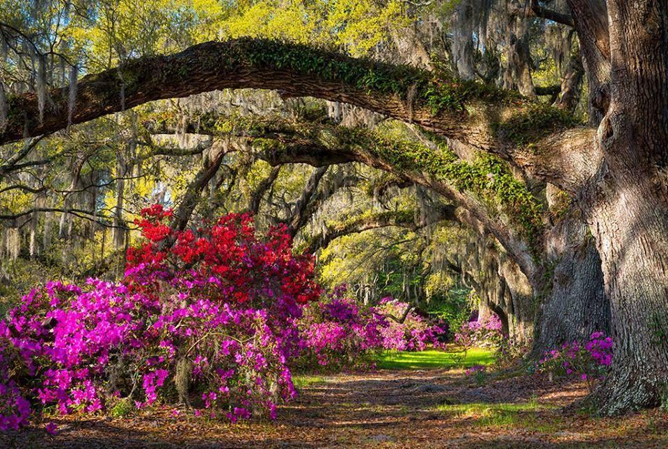 Azaleas in The Battery Charleston, SC Flowering shrubs