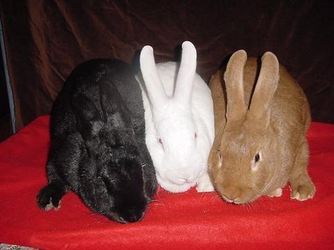 New Zealand Rabbit Colors | Microfarm: Rabbit Showing | Pinterest ...
