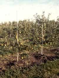 Apple Orchard info