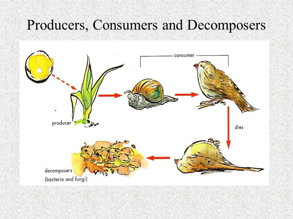 Image Result For Food Web Producers Consumers Decomposers