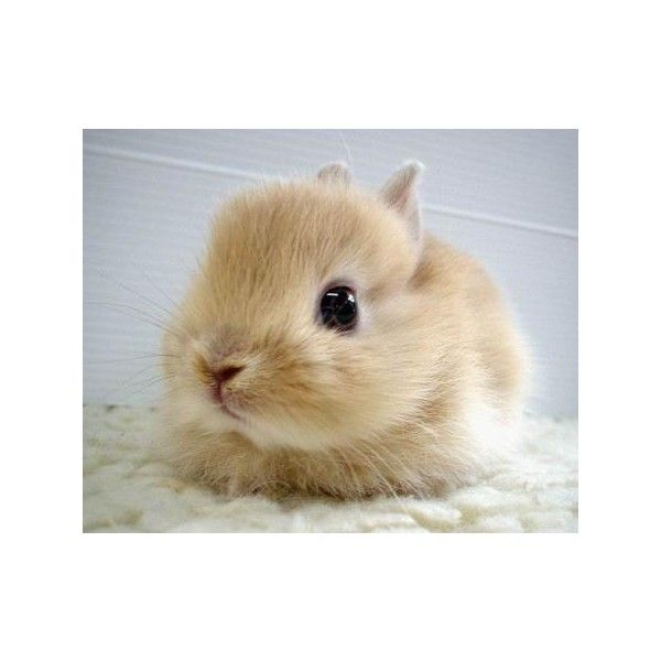 Tumblr ❤ liked on Polyvore featuring animals, bunny, pictures, backgrounds and cute animals