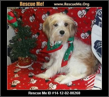 Morkie Male Maltese Mix Age Young Puppy Compatibility Good W