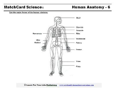 Printables Human Skeleton Worksheet Grade4 1000 images about skeleton lessons on pinterest biology for life and middle school