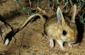 Mongolian five-toed jerboa - Google Search in 2020 ... - photo#23