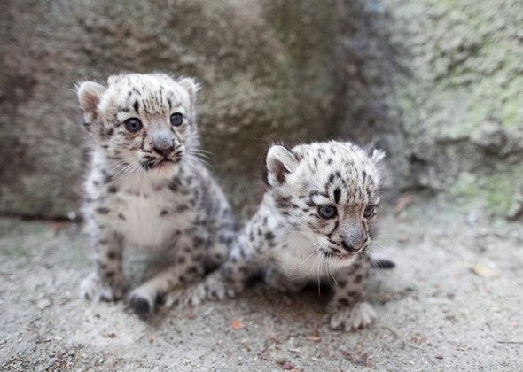 Snow Leopard Cubs | Cute baby animals | Pinterest ...