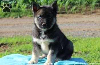 Pomsky Siberian Husky Mix Puppy For Sale In Lancaster Pa Adn