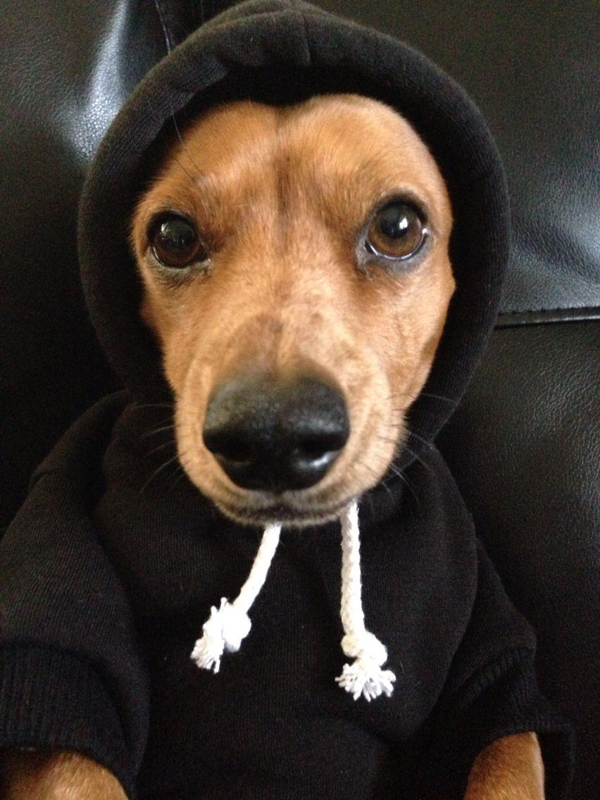 Thug Life Doxiedarla On Instagram Cute Animal Photos Dog