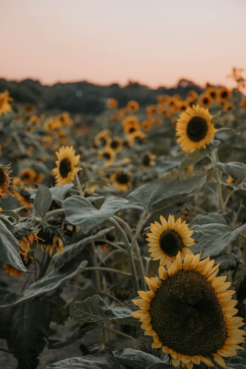 Pin by Sophie DM (: on Nature and flowers | Sunflower ...