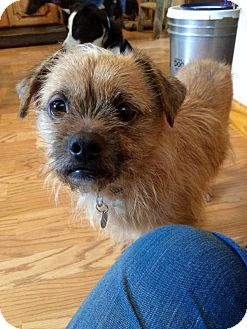 Mentor Oh Border Terrier Shih Tzu Mix Meet Niko 15 Lbs 2