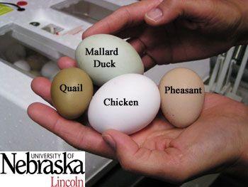 50++ When do mallard ducks lay eggs ideas in 2021