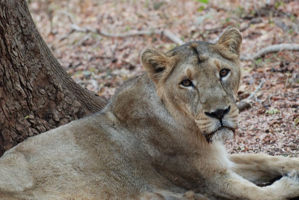 wild india lions and tigers images Google Search Pet