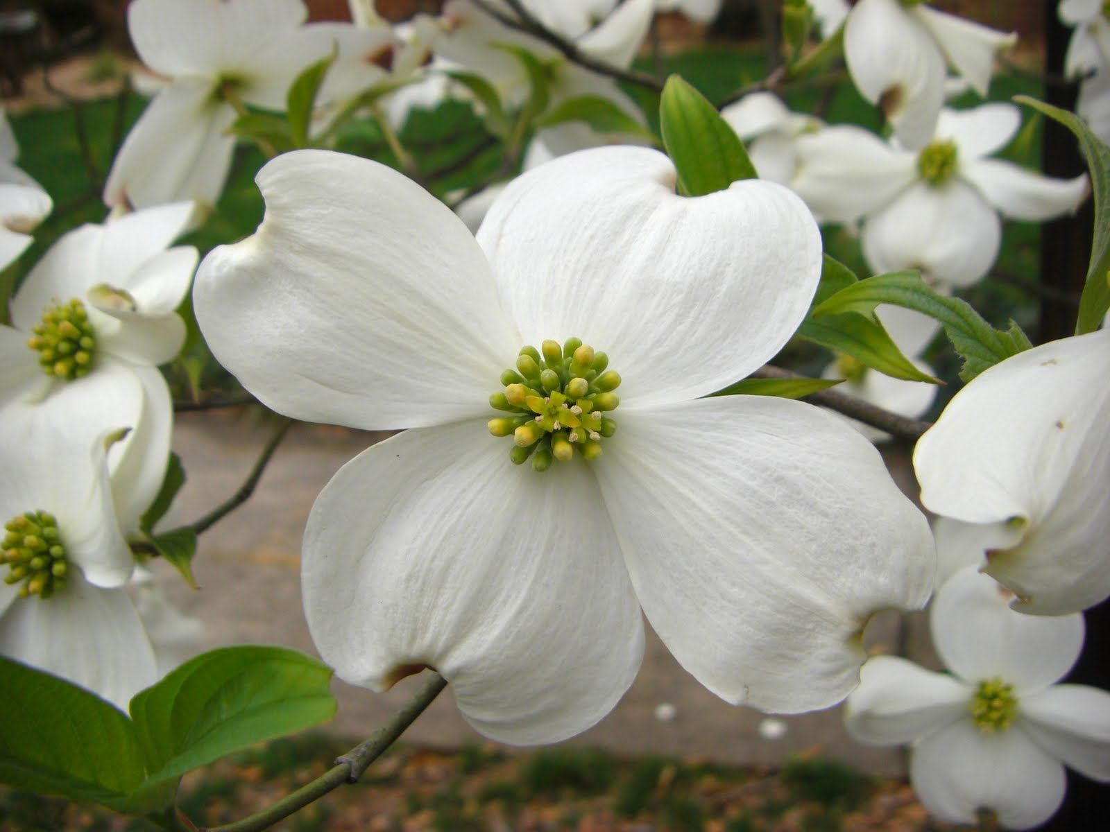 The Dogwood Tree Another Legend For Good Friday Dogwood Trees Dogwood Dogwood Blossoms