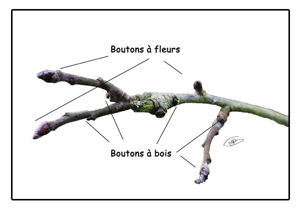 Un rameau de pommier bio avec boutons bourgeons bois - Tailler un pecher ...