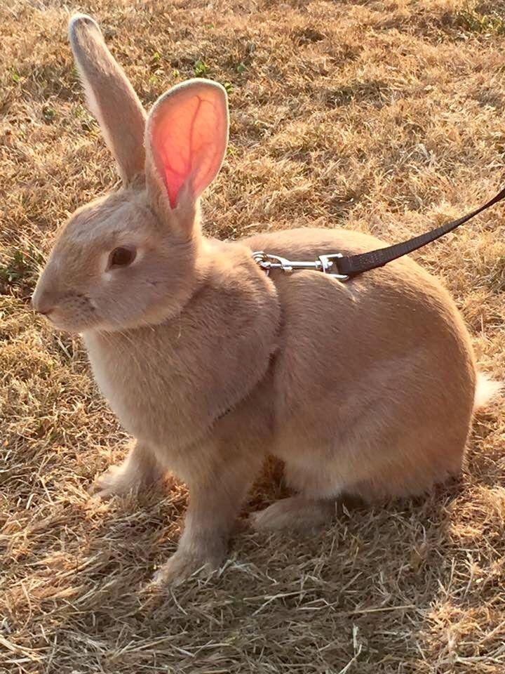 Pin by Kayla Ham on Furbabies (mostly bunns) Cute bunny