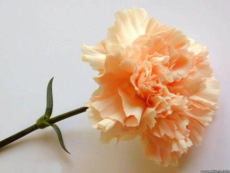 Buy Bulk Peach - Standard Carnations - 175 stems