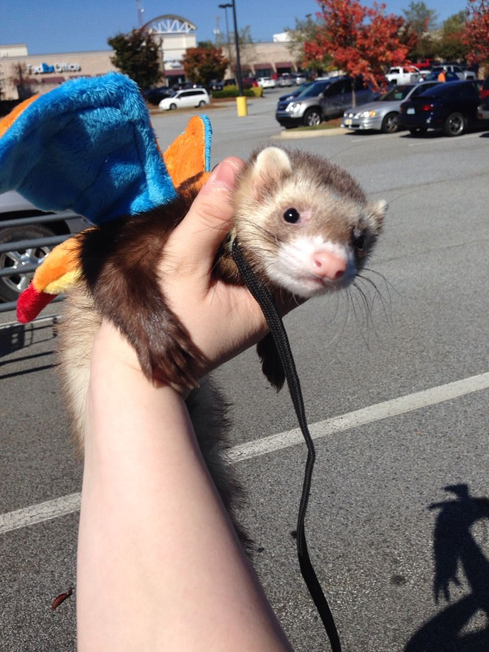 My Little Award Winning Charizard If Anyone Glacidea Cute Ferrets Funny Ferrets Pet Ferret