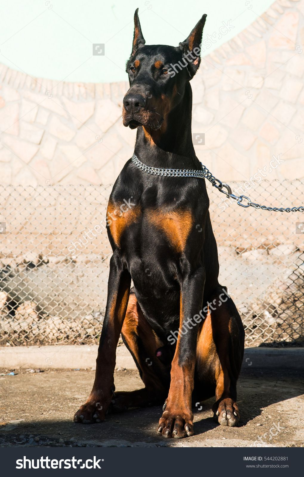 Beautiful Purebred Brown Doberman Dog Champion Sitting In The