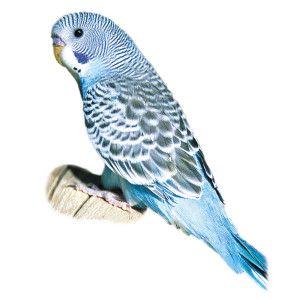Blue Parakeet Petsmart Parakeets Parakeet Blue Parakeet Bird Art