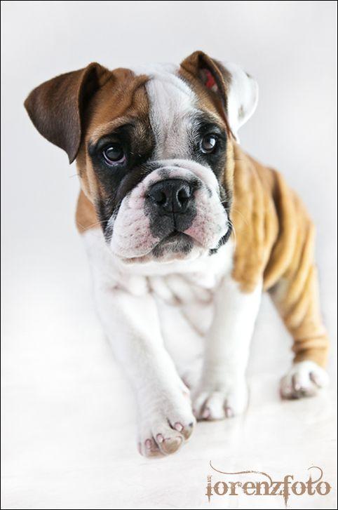 My 13 Week Old English Bulldog Bulldog Old English Bulldog