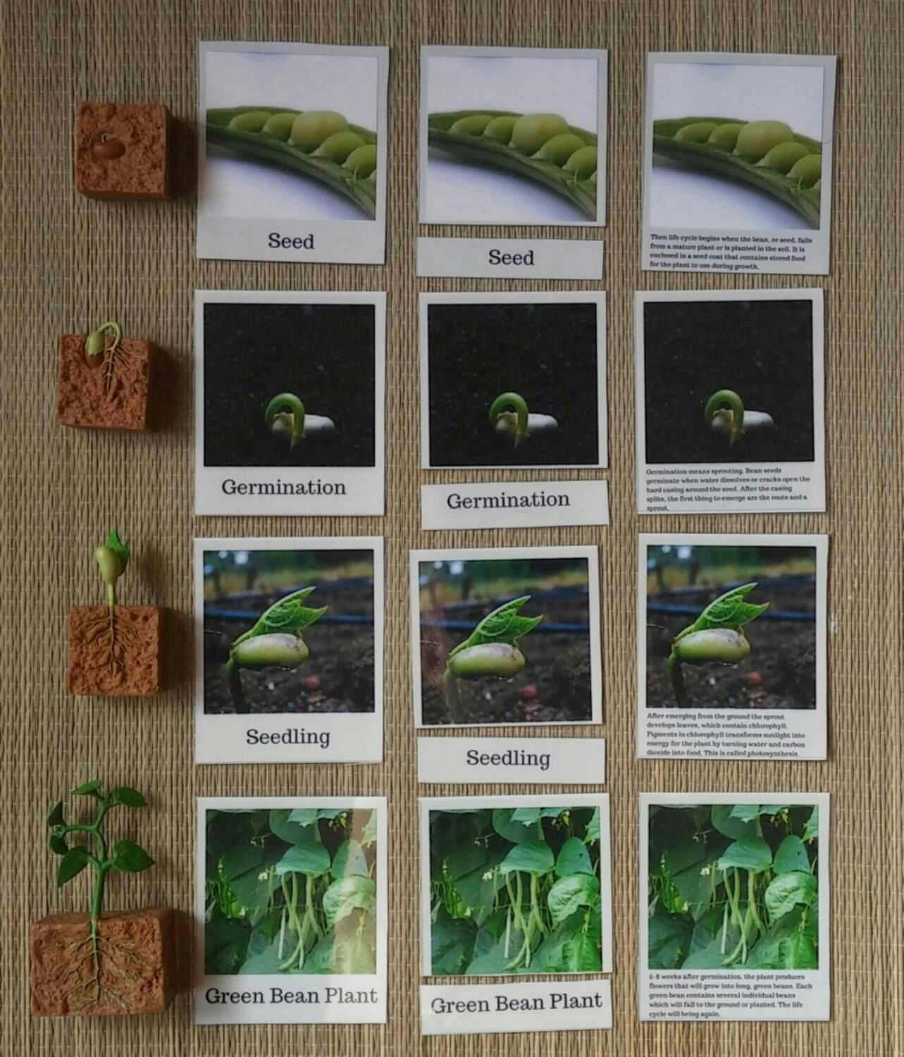 Life Cycle Of A Green Bean Montessori Life Science