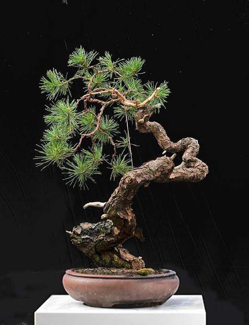 Walter Pall Bonsai Adventures Scots Pine 14 Bonsai Art Pine Bonsai Bonsai