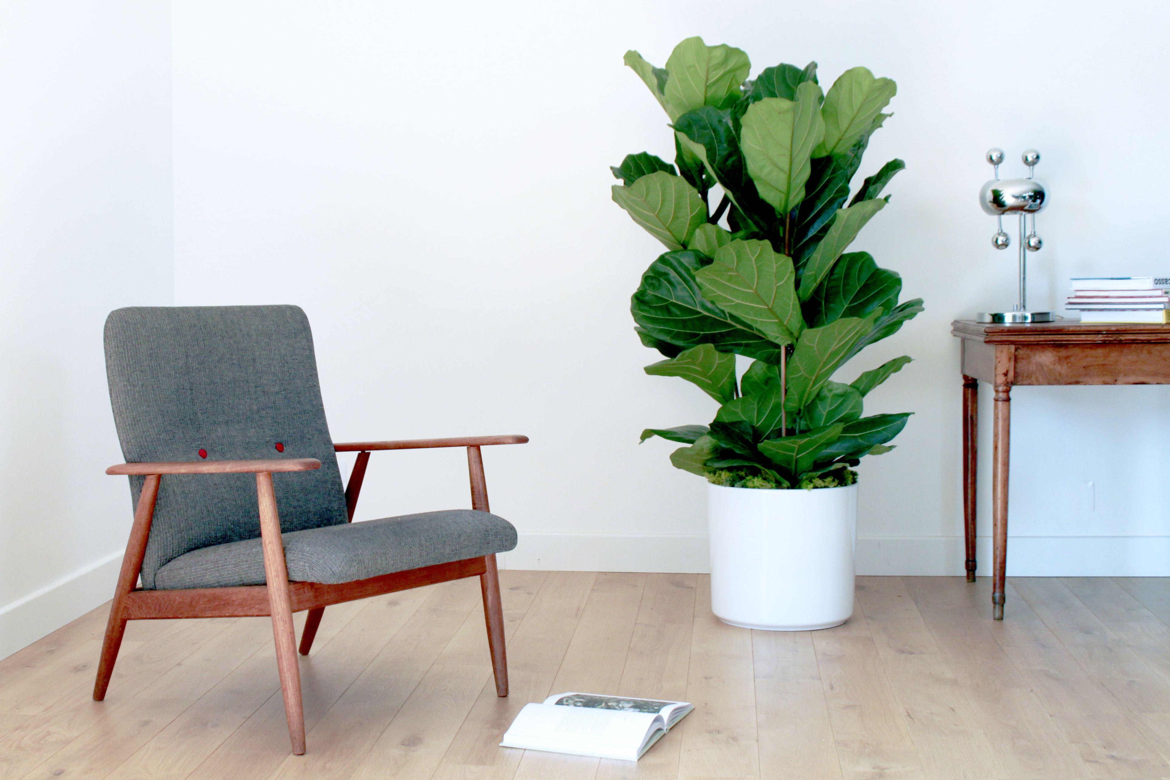 Luxuriant Et Sculptural, Le Ficus Lyrata Ou Figuier Lyre Apporte