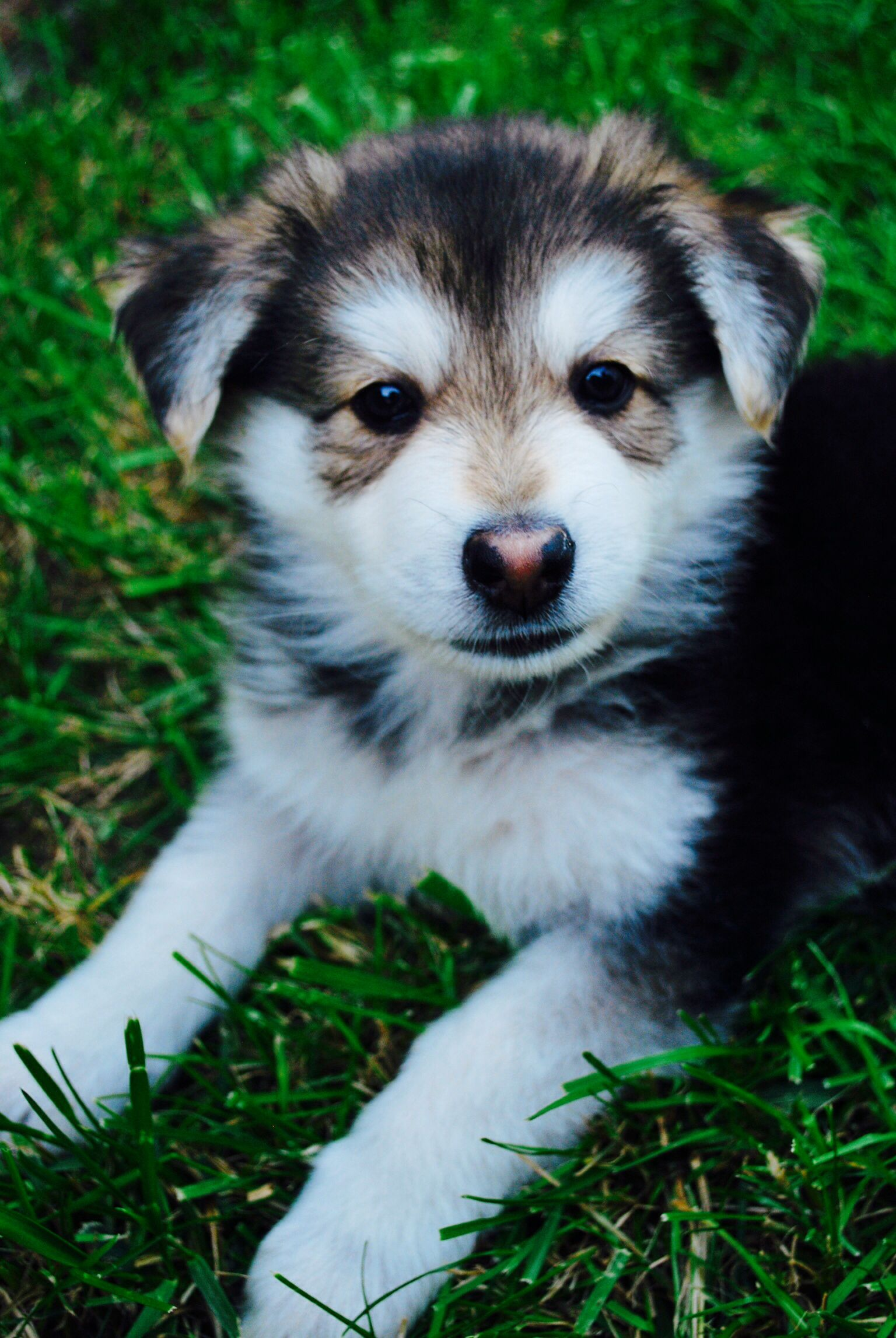 Cute Husky German Shepherd Mix Pets Dogs Breeds Dogs Pet Dogs