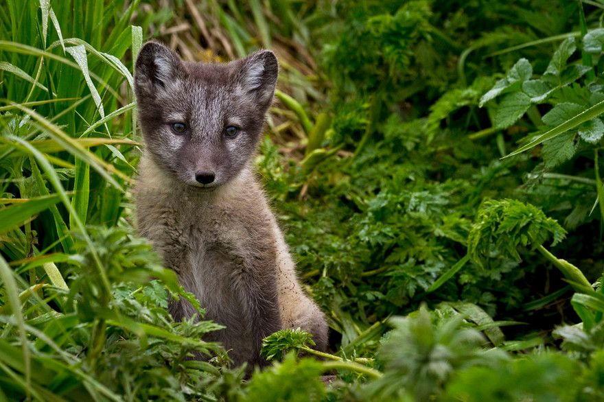 Arctic Fox Pup (Vulpes lagopus), St. George Island, in the Pribilof Islands, Alaska.