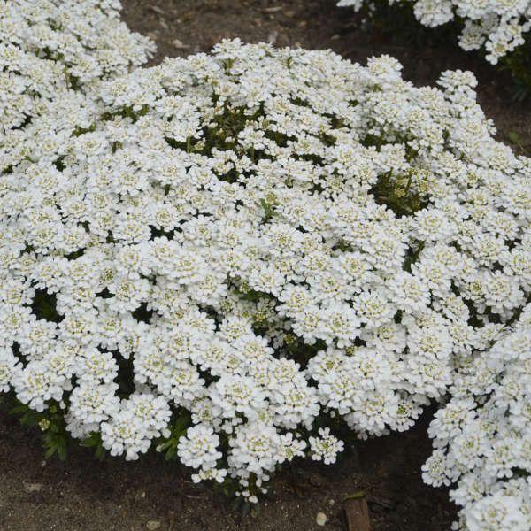 White Iberis Snowball Evergreen Candytuft Hardy Perennials Perennials Planting Bulbs
