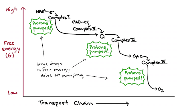 Electron Transport Chain Diagram For Dummies Labelled Of Agama Lizard Free Energy Showing The Energetically Downhill Flow Electrons In