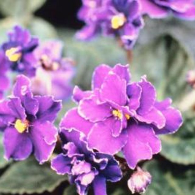 African Violets Need Fertilizer To Produce Their Best Color