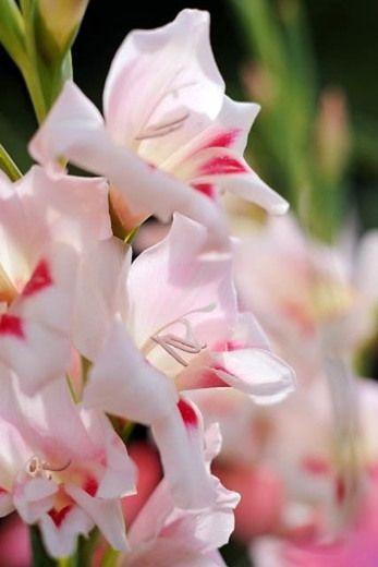 Gladiolus Elvira Sword Lily Gladiolus Hybrid Tea Roses Plants