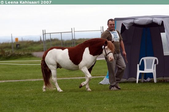 Splashed white Gotland Russ stallion Toppå. Splash is a rare color in Gotland Russ.