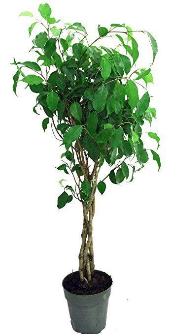 "Braided Weeping Fig Tree - Ficus benjamina - Easy to Grow - 6"" Pot"
