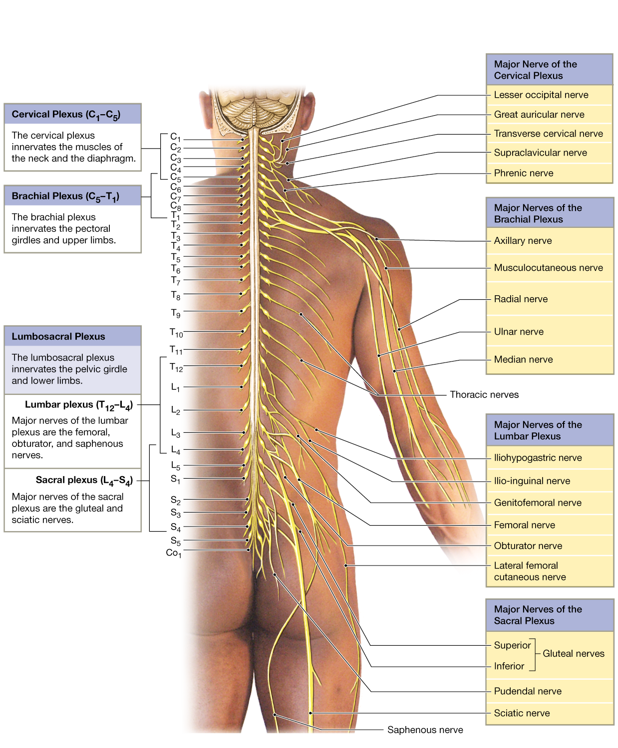134 Spinal Nerves Extend To Form Peripheral Nerves Sometimes