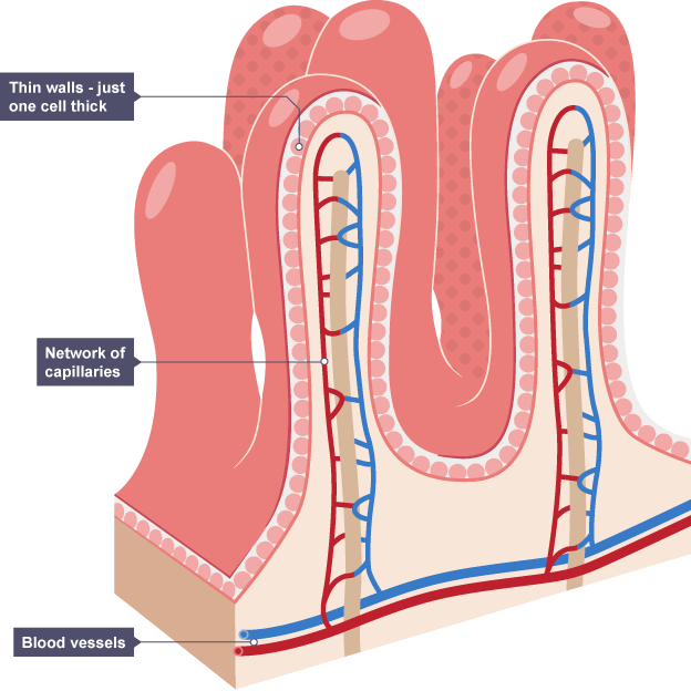 Villi Diagram Of Cell 10stefvandenheuvelnl