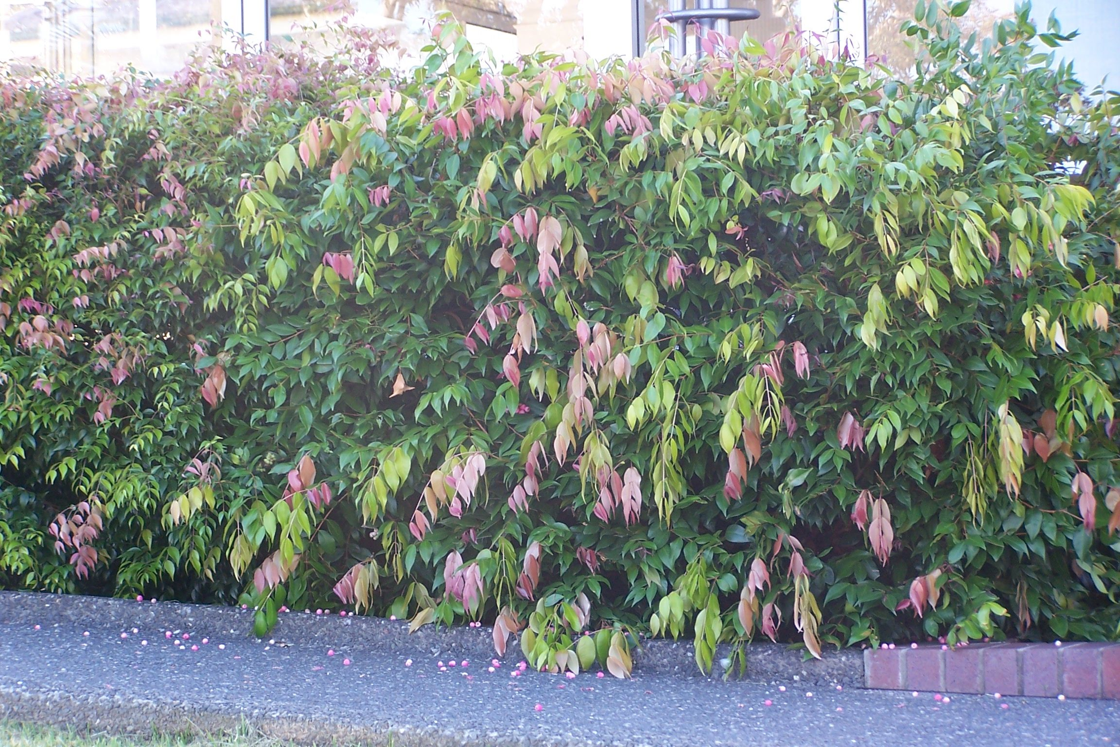 Small tree for entrance garden or street hedge weeping for Lilly pilly shrub