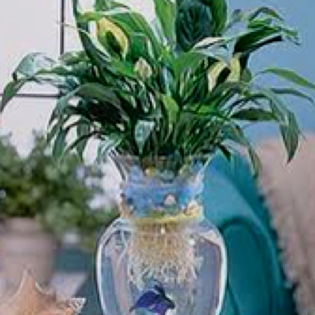 Me Gusta Studyrank Com Peace Lily In Water Withbeta Fish