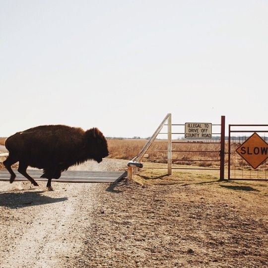 A Life Alive Beautiful creatures, Bison, Cool photos
